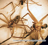 brown-recluse spider