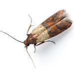 indian-meal-moth