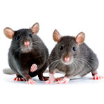 Prevent rats, mice and squirrels from destroying your home