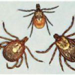 From left to right: lone star tick, deer tick, American dog tick.